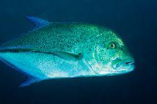 Free Bluefin Trevally Stock Photography - 24230912