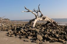 Free Large Driftwood Tree Stock Images - 24231874
