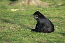 Free Geoffroy S Spider Monkey Sitting Royalty Free Stock Images - 24232619