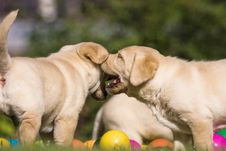 Free Cute Puppies With Colored Balls Royalty Free Stock Image - 24234076
