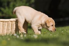 Free Puppy Jumps Out Of Basket Royalty Free Stock Photo - 24234165