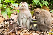 Free Long-tailed Macaques Stock Photos - 24234363