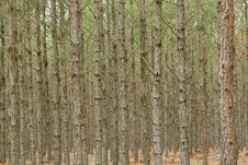 Free Pine Tree Forest Royalty Free Stock Photo - 24234405