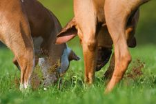 Free Two Dogs Digging In A Meadow For Something Stock Images - 24234744