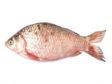 Free Fish Crucian Stock Photography - 24238002