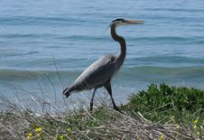 Free Great Blue Heron Stock Photos - 24239923