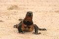 Free Marine Iguana On Beach Stock Photography - 24241102