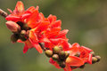 Free Red Silk Cotton Tree Flower Stock Photography - 24242232