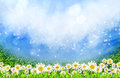 Free Green Field With Daisy Flowers Royalty Free Stock Images - 24243849