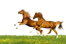 Two Chestnut Horses Isolated Stock Images