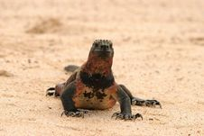 Free Marine Iguana On Beach Stock Photography - 24241102