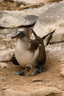 Blue Footed Booby And Chick Stock Photo