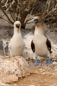 Free Blue Footed Booby And Chick Royalty Free Stock Photography - 24241237