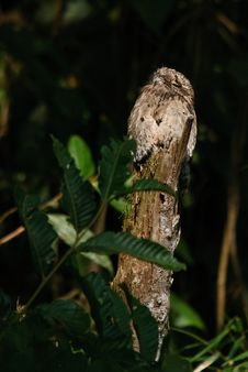 Free Potoo Camouflaged During The Day Stock Images - 24241564