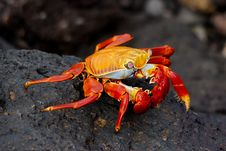 Free Sally Lightfoot Crab On Lava On Galapagos Stock Images - 24241594