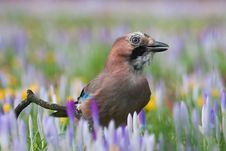 Eurasian Jay In An Environment Of Crocuses Royalty Free Stock Photography