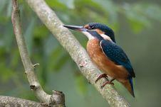 Free Common Kingfisher Stock Photos - 24244863