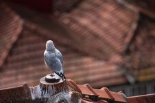 Free Seagull Looking Over The Roofs Stock Image - 24246161