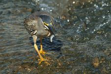 Free Greenback Heron Fishing Stock Image - 24246441