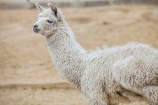 Free Llama Stock Photography - 24246662