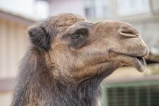 Free Camel Stock Photography - 24246762