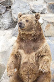 Free Brown Bear Stock Image - 24247851