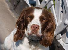 Free Spaniel English Springer Dog Royalty Free Stock Images - 24249819