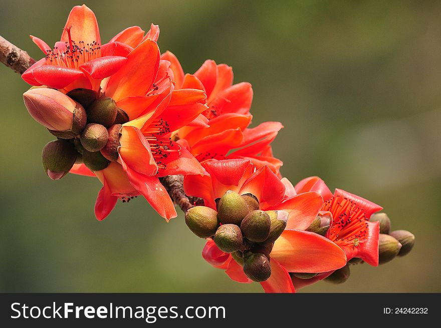 Red Silk Cotton Tree Flower - Free Stock Images & Photos - 24242232