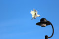 Free Corella Flying To Light Pole Royalty Free Stock Images - 24258089