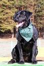 Free Black Labrador Retriever Portrait Stock Photography - 24259992