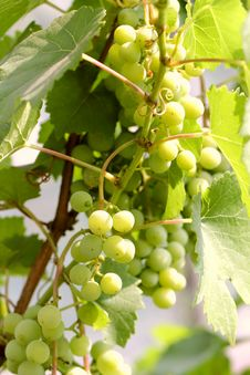 Free Green Grapes Stock Photo - 24255710