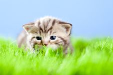 Free Tabby Kitten Scottish Lying On Green Grass Stock Photography - 24257242