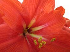Free Amaryllis Lily Royalty Free Stock Image - 24259886