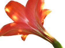 Free Amaryllis Lily Stock Photography - 24259952
