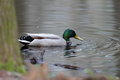 Free Mallard Duck Stock Images - 24266584