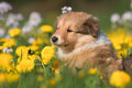 Free Collie Puppy In A Dandelion Meadow Royalty Free Stock Image - 24269456