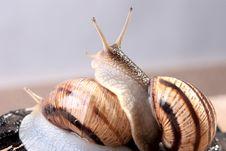Free Connubium Of Snails Stock Images - 24260954