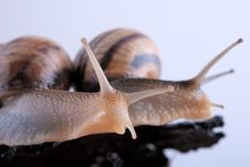 Free Snails On A Wooden Bark Stock Photo - 24261000