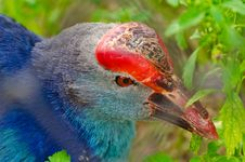 A Closeup Of Purple Swamphen Bird Royalty Free Stock Photos