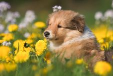 Collie Puppy In A Dandelion Meadow Royalty Free Stock Image