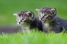 Free Two Kitten Royalty Free Stock Images - 24269879
