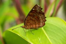 Free Brown Butterfly Stock Photos - 24270923