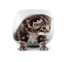 Free Scottish Little Kitten Sitting In Cup Isolated Royalty Free Stock Photo - 24273715