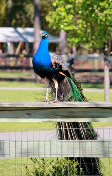 Free Proud Peacock Perched On A Fence Royalty Free Stock Images - 24278219