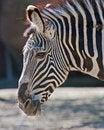 Free Zebra Portrait Royalty Free Stock Photography - 24283797