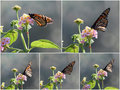 Free Collage Of Butterflies On Lantana Stock Image - 24288551