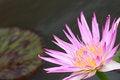 Free Water Lily, Lotus Stock Photos - 24288973