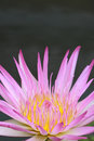Free Water Lily, Lotus Royalty Free Stock Photography - 24288977