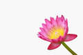 Free Water Lily, Lotus Royalty Free Stock Images - 24289189