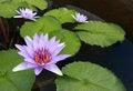 Free Water Lily, Lotus Stock Photos - 24289193